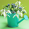 snowdrops in a watering can